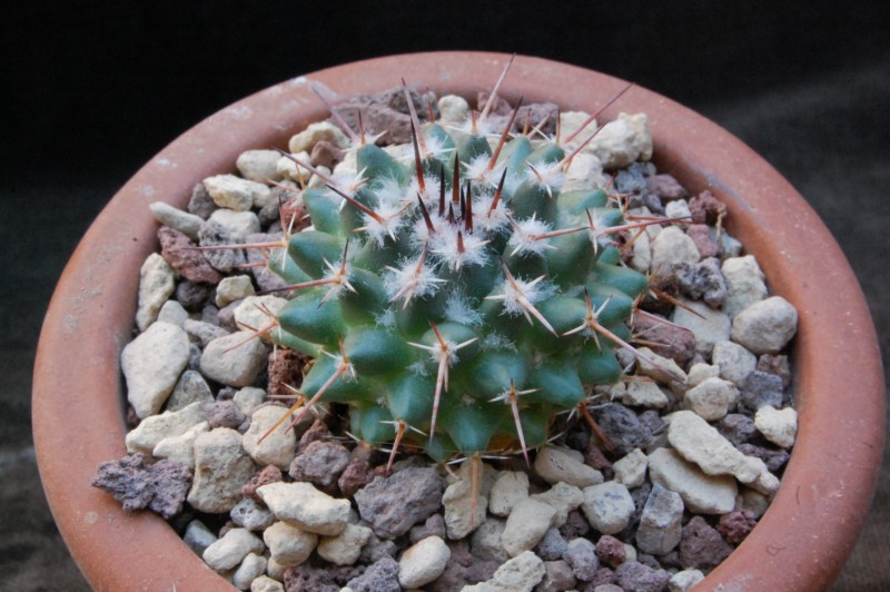 Mammillaria gigantea 7404-210