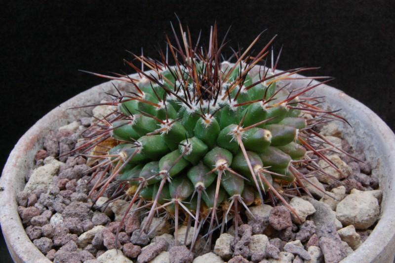 Mammillaria gigantea 8054-212