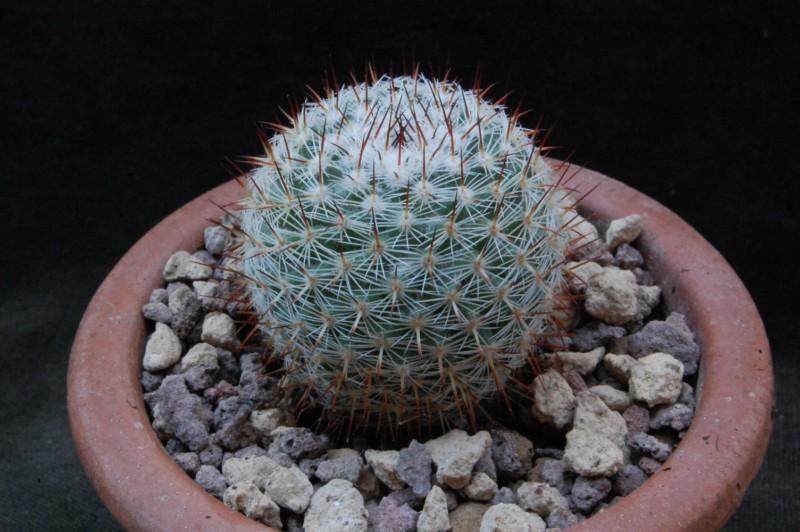 Mammillaria monticola 8335-210