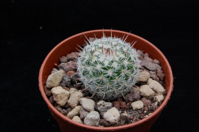 Mammillaria geminispina 8639-210