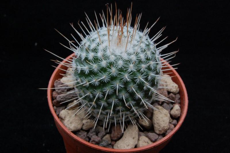 Mammillaria geminispina 8641-210