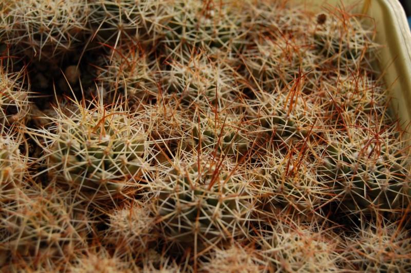 Mammillaria wagneriana Gigant11
