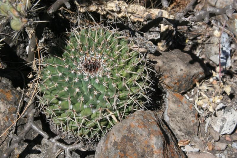 Mammillaria gigantea Img_6810