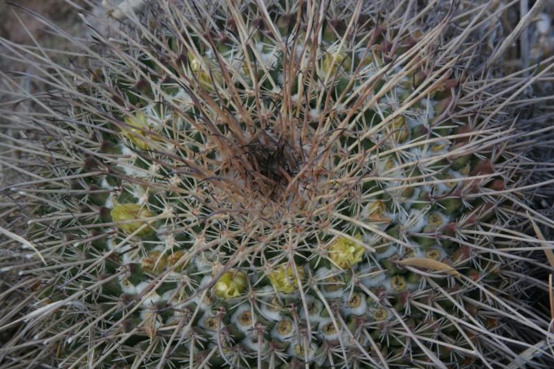 Mammillaria gigantea Img_9111