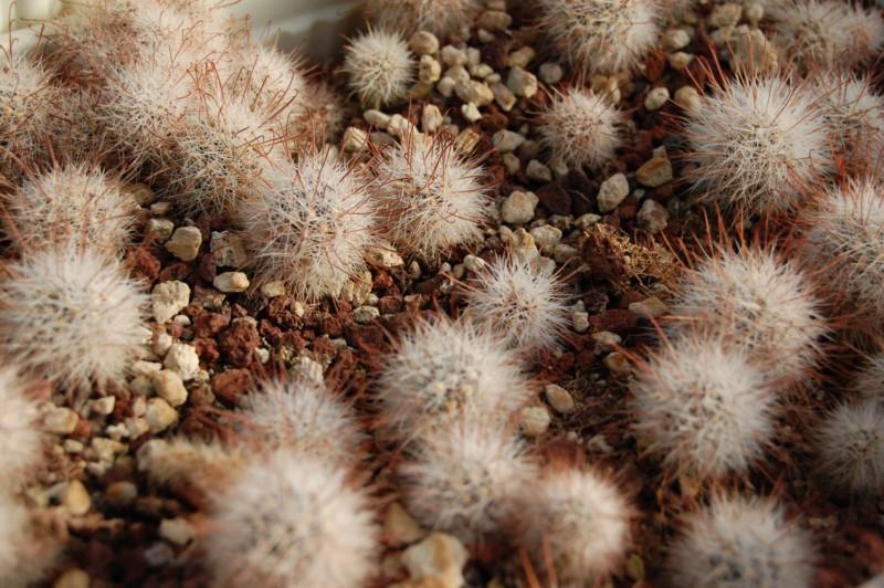 Mammillaria meridiorosei Meridi11