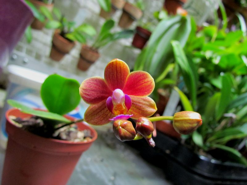 Pour Evaline (mini phalaenopsis) Img_4010