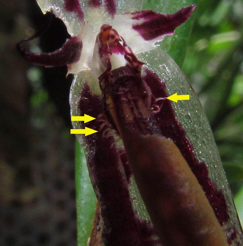 Lindleyalis talpinarioides ( ex. Pleurothallis talpinarioides ) Img_4013