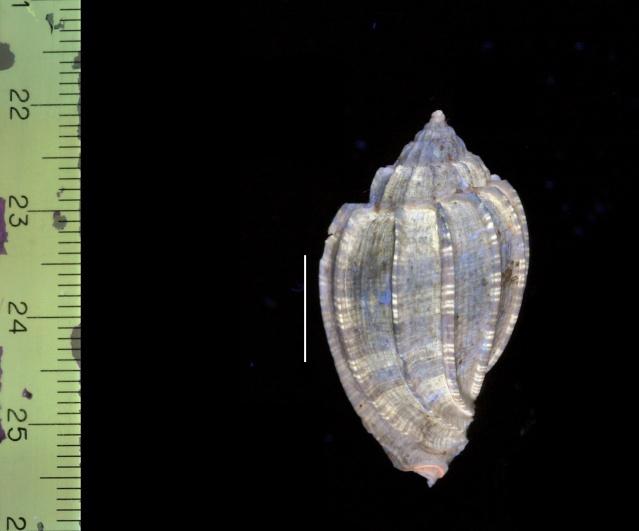 Harpidae - † Harpa (eocithara) mutica Lamarck, 1803 (GA 209-01) - Lutétien (Bassin Parisien) 209-1e10