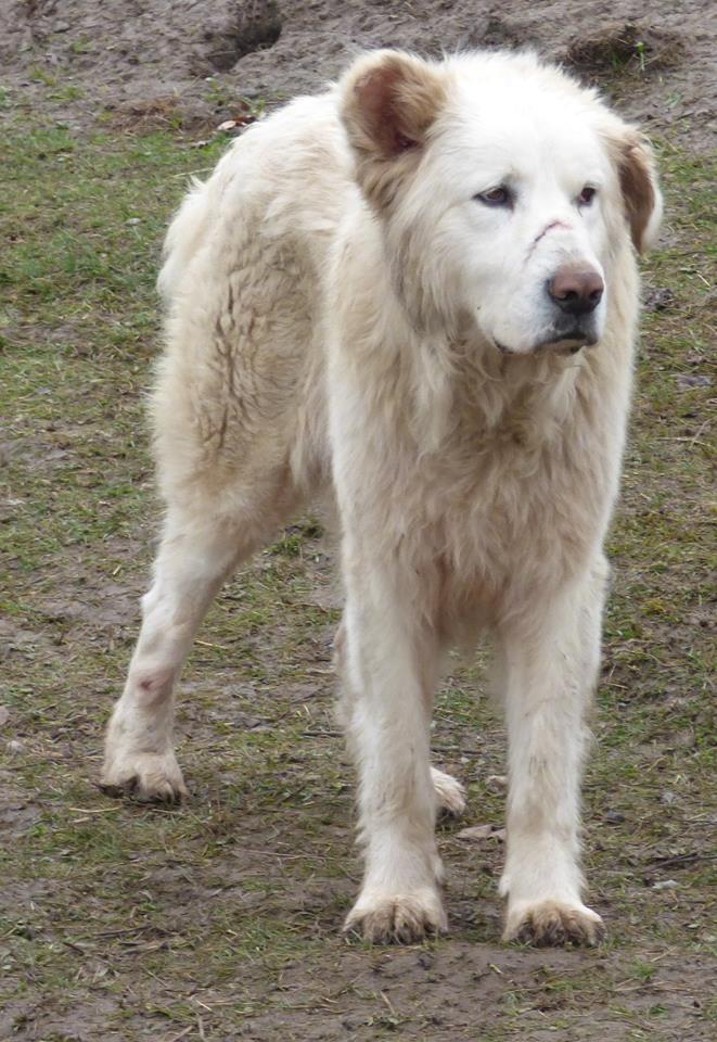 GOLIATH !! + de 3 ans de box !! mâle grande taille, né environ en octobre 2009, croisé montagne des Pyrénées (Cristesti) - REMEMBER ME LAND - En FALD chez Caroline (05) - DECEDE  10312510
