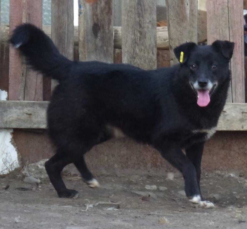 BULI (ex TZUMPI), mâle croisé labrador né en 2010 - en FA à Pascani - Adopté PAR SYBILLE (depart67) 12472512