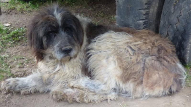 NEMO, mâle âgé type berger mioritic, grande taille environ 40kg, calme  (Pascani)- REMEMBER ME LAND - adopté par André et Nathalie (Belgique)- décédé  12593711