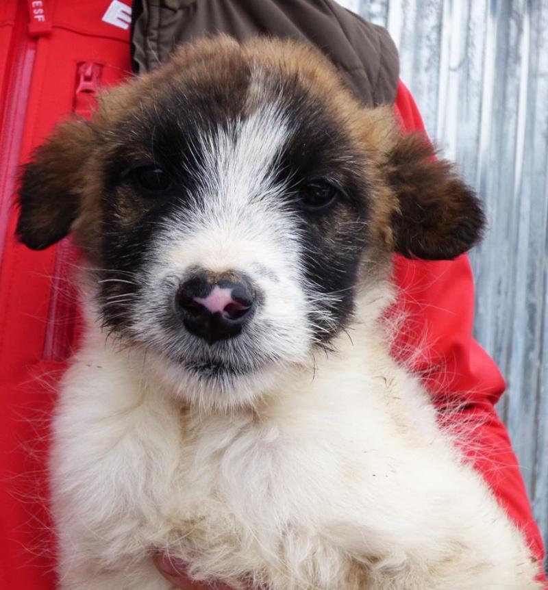 PEPSI, chiot mâle, né en novembre 2015 - REMEMBER ME LAND 12698110