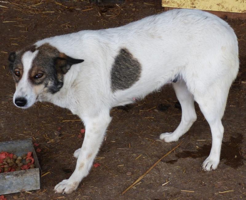 WHITE: femelle, croisée, taille moyenne (Pascani)- REMEMBER ME LAND-décédée 12764811