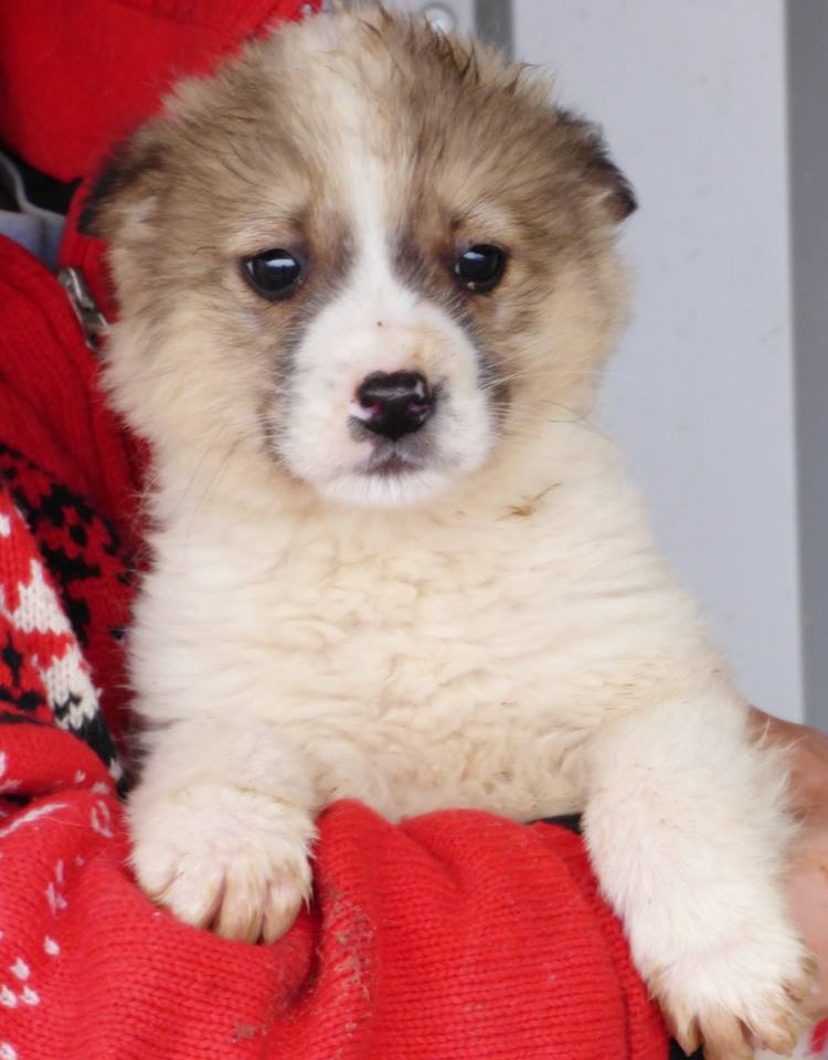 BROOKLYN, chiot mâle, né en novembre 2015 (Pascani)-REMEMBER ME LAND 12798810