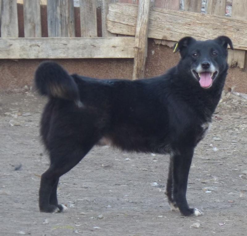 BULI (ex TZUMPI), mâle croisé labrador né en 2010 - en FA à Pascani - Adopté PAR SYBILLE (depart67) 12809510