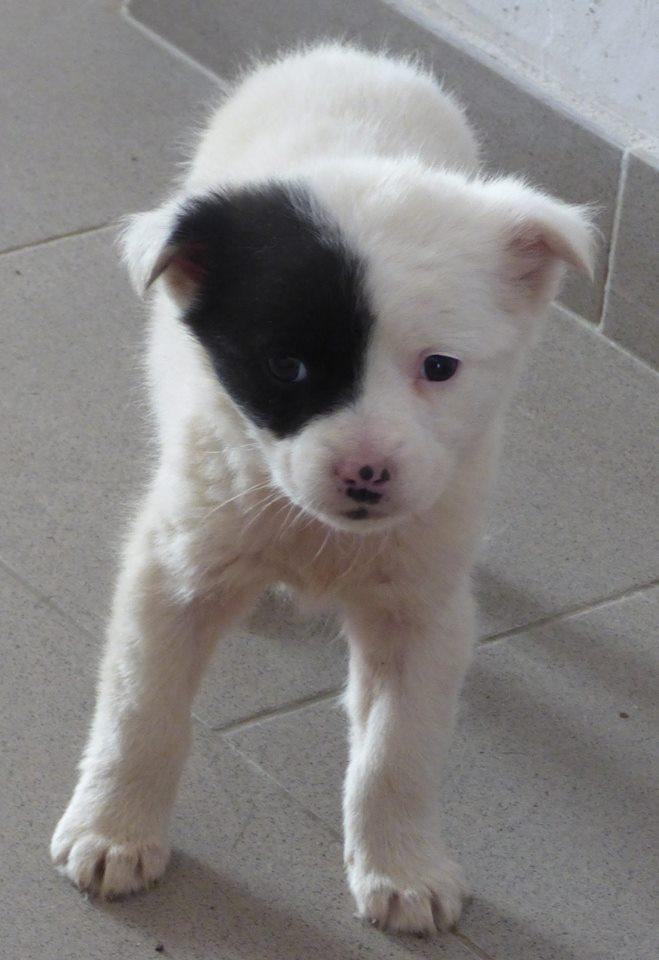 SISSI (ex ARLEQUINE), chiot femelle, née en décembre 2015 - REMEMBER ME LAND - adoptée par Irène (dpt74) 12814010