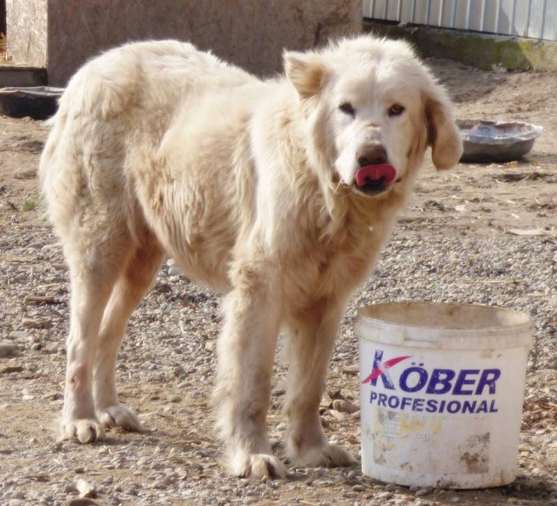 GOLIATH !! + de 3 ans de box !! mâle grande taille, né environ en octobre 2009, croisé montagne des Pyrénées (Cristesti) - REMEMBER ME LAND - En FALD chez Caroline (05) - DECEDE  12814414
