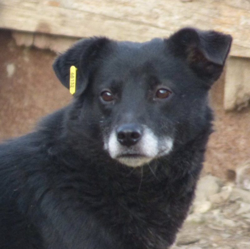 BULI (ex TZUMPI), mâle croisé labrador né en 2010 - en FA à Pascani - Adopté PAR SYBILLE (depart67) 12821410