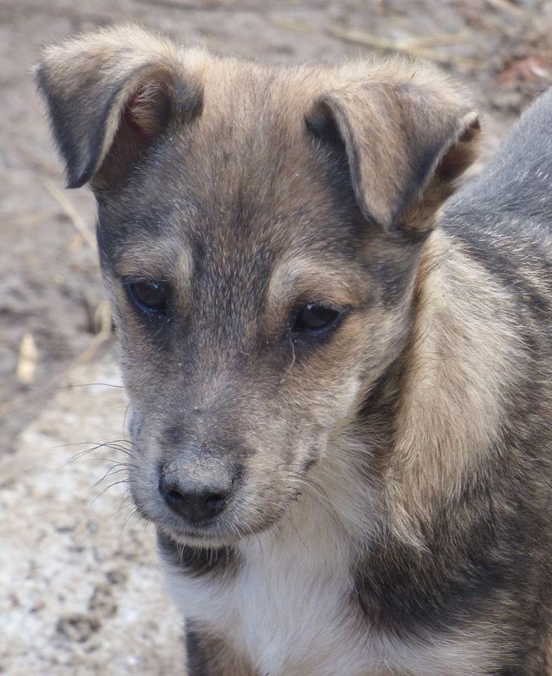 leon - LEON, chiot mâle, né en novembre 2015 - REMEMBER ME LAND - Adopté PAR CHANTAL (46) 12828311