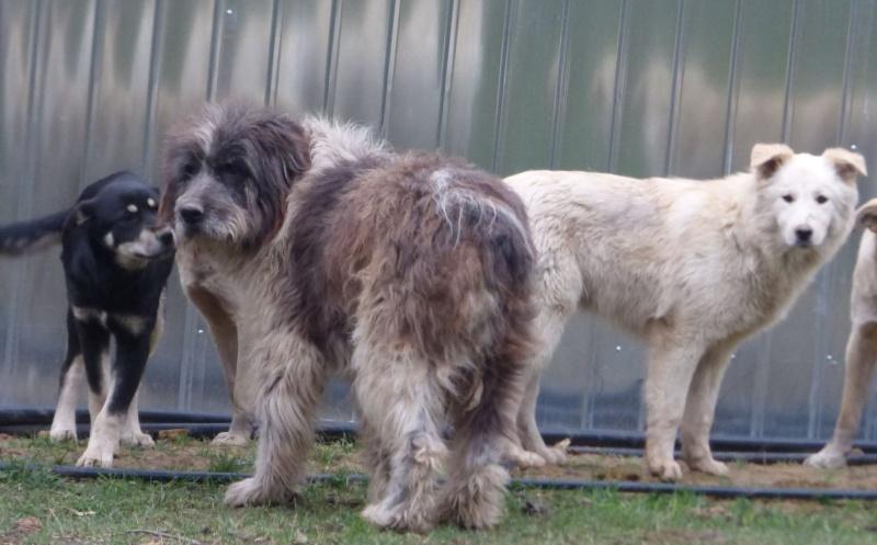 NEMO, mâle âgé type berger mioritic, grande taille environ 40kg, calme  (Pascani)- REMEMBER ME LAND - adopté par André et Nathalie (Belgique)- décédé  12829013