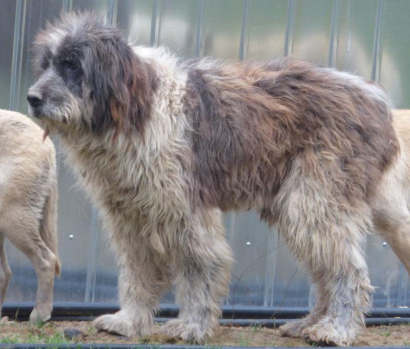 NEMO, mâle âgé type berger mioritic, grande taille environ 40kg, calme  (Pascani)- REMEMBER ME LAND - adopté par André et Nathalie (Belgique)- décédé  12829014