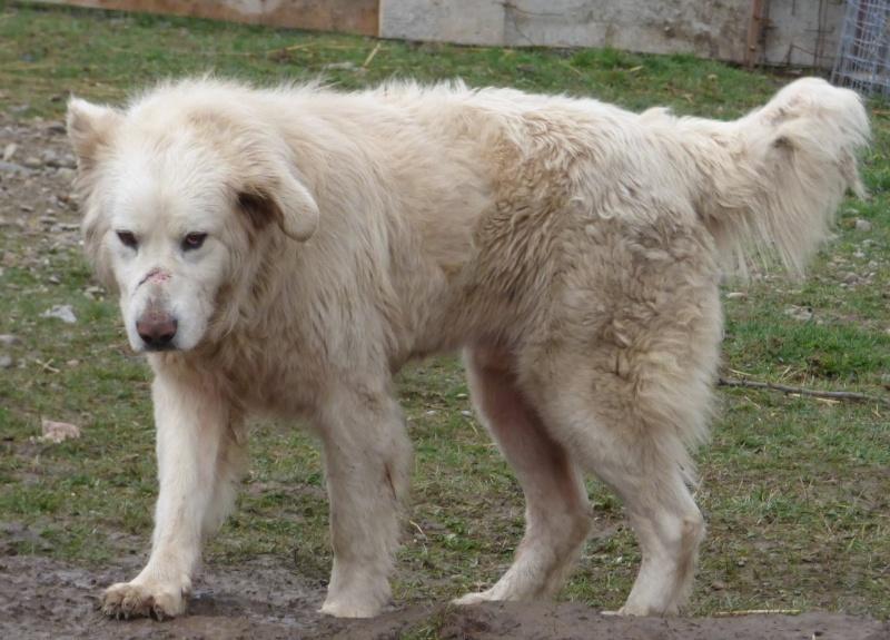 GOLIATH !! + de 3 ans de box !! mâle grande taille, né environ en octobre 2009, croisé montagne des Pyrénées (Cristesti) - REMEMBER ME LAND - En FALD chez Caroline (05) - DECEDE  12829112