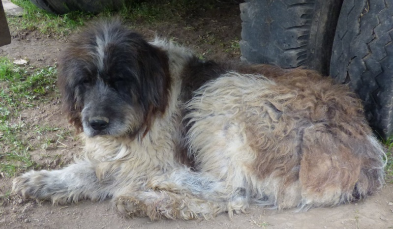 NEMO, mâle âgé type berger mioritic, grande taille environ 40kg, calme  (Pascani)- REMEMBER ME LAND - adopté par André et Nathalie (Belgique)- décédé  12841410