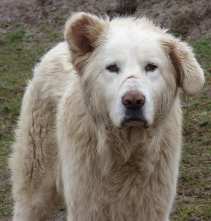 GOLIATH !! + de 3 ans de box !! mâle grande taille, né environ en octobre 2009, croisé montagne des Pyrénées (Cristesti) - REMEMBER ME LAND - En FALD chez Caroline (05) - DECEDE  16606010