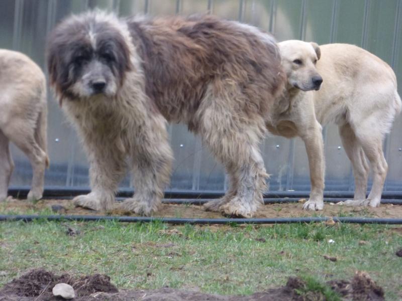 NEMO, mâle âgé type berger mioritic, grande taille environ 40kg, calme  (Pascani)- REMEMBER ME LAND - adopté par André et Nathalie (Belgique)- décédé  92068710