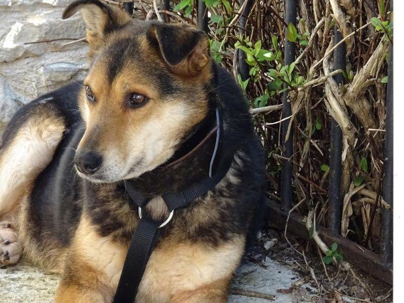 SHIVA, femelle, taille moyenne, né en 2009, refuge de Alina et Anda - adoptée par Anne-Marie et Jacques (dpt24) Sans-t15