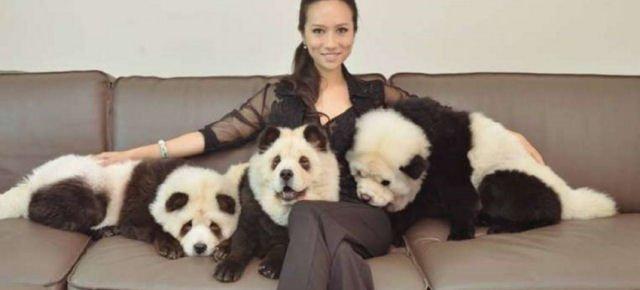 Cani trasformati in panda, è polemica E0806310