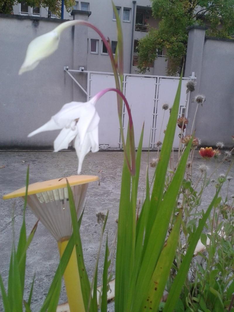 merci pour le nom de cette fleur -Acidanthera- 12091410