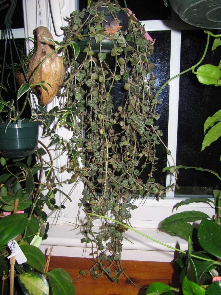 floraison de mon Hoya curtisii  Img_3614