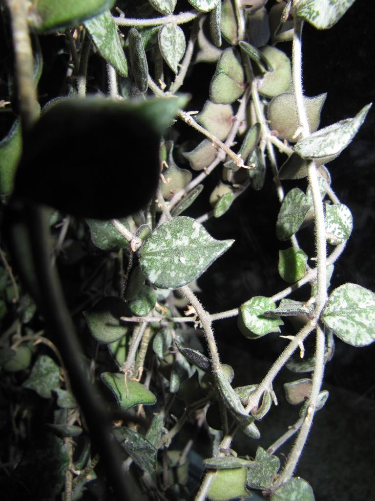 floraison de mon Hoya curtisii  Img_3615