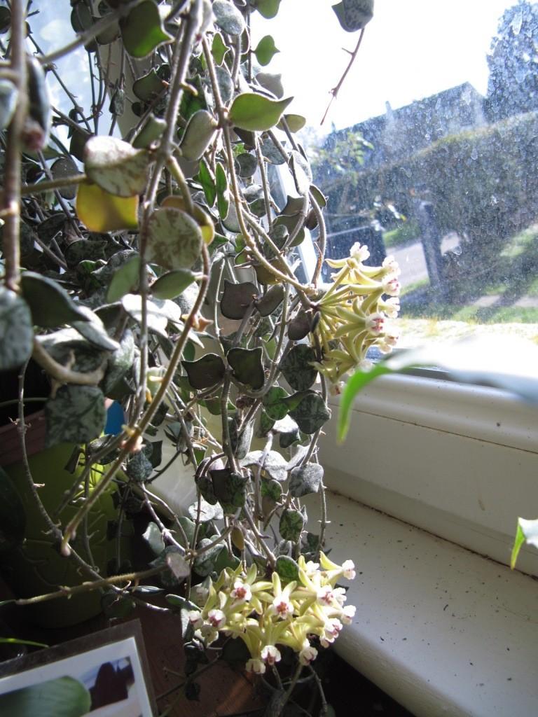 floraison de mon Hoya curtisii  Img_3715