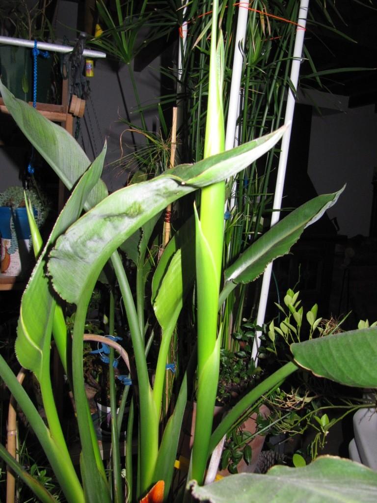 Strelitzia reginae 2016 Img_3721