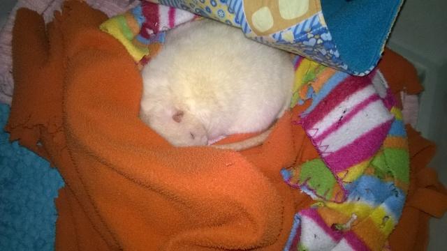 Léo, petit rat destiné aux serpent. Zk_lyo10
