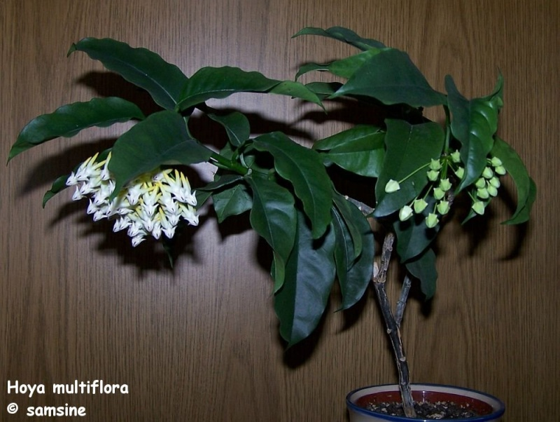 Hoya multiflora Hoya_m11