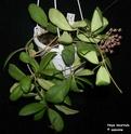 Hoya incurvula Hoya_i18