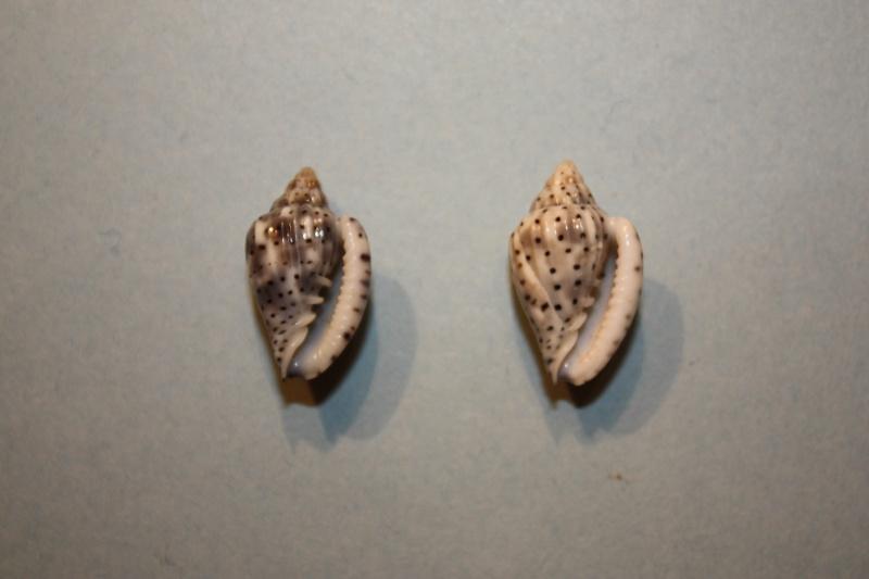 Glabella pseudofaba - (Sowerby II, 1846) Glabel26