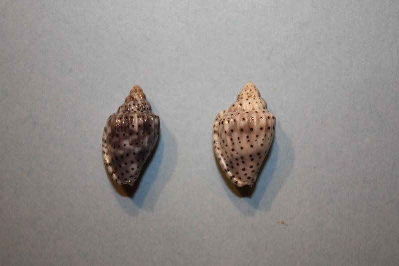 Glabella pseudofaba - (Sowerby II, 1846) Glabel27