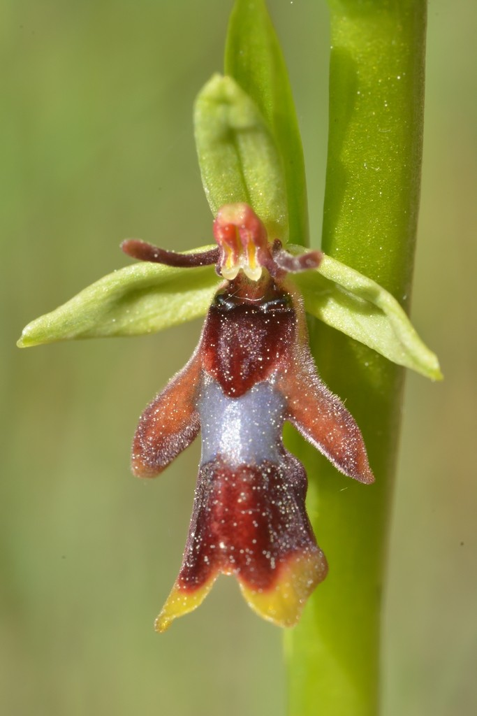 Classer les Ophrys français - Page 3 07011