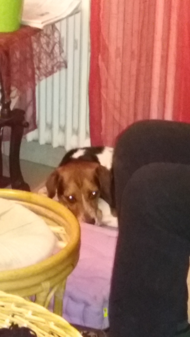 ELGA  beagle née 01/10/2014  adoptée par MARYLINE  ( 79 ) 20160311