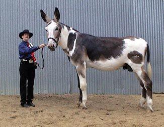 Les races d'ânes 82ab0a10