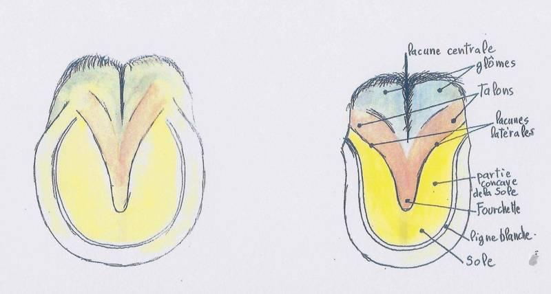 mieux comprendre les mulets  - Page 2 C90f3a10
