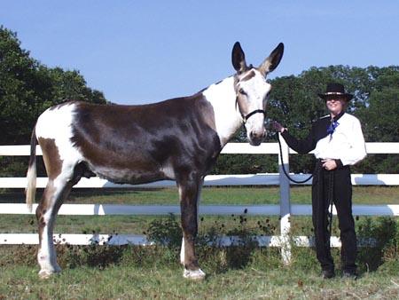 Les races d'ânes Kalico10