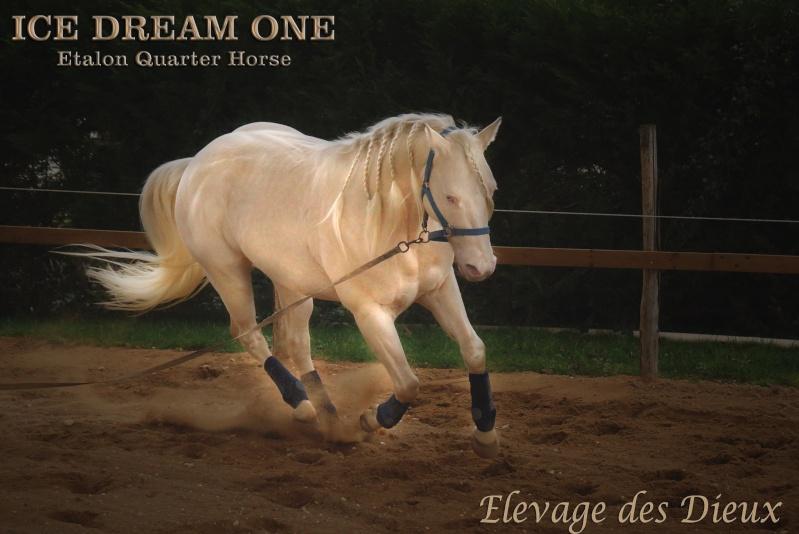 Ice Dream One étalon Quarter Horse Crème Ice_dr12