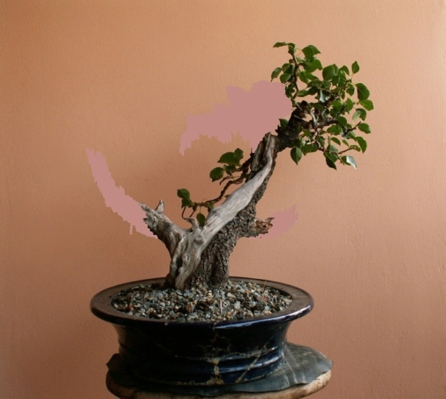Prunus mahaleb_The Hug 2vlad10
