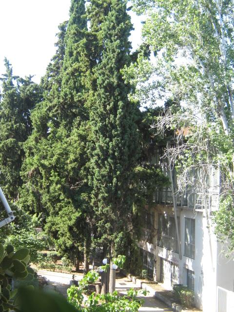 Cupressus sempervirens/Mediterranean cypress Img_8210
