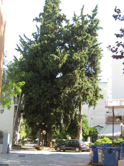 Cupressus sempervirens/Mediterranean cypress Img_8211